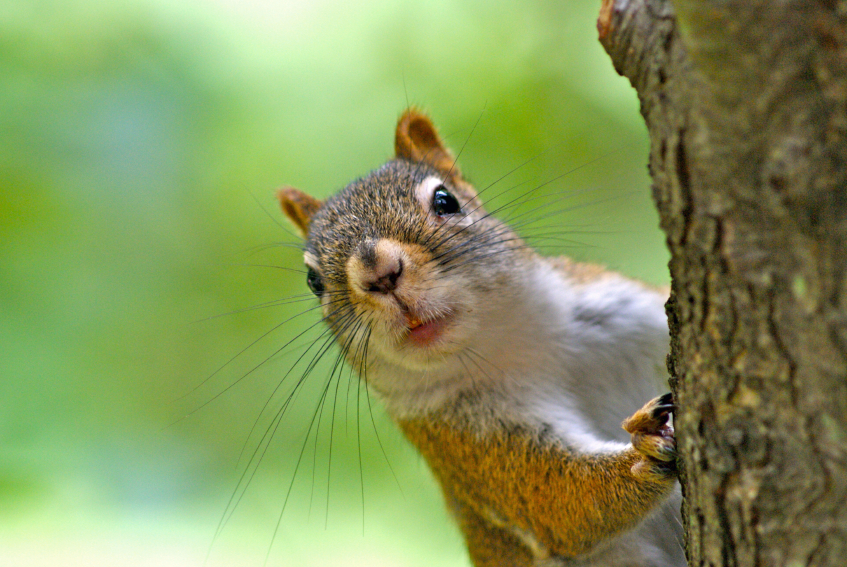 How to Get Rid of Squirrels Humanely