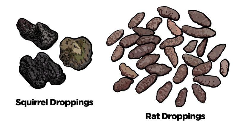 Squirrel Droppings vs Rat Droppings