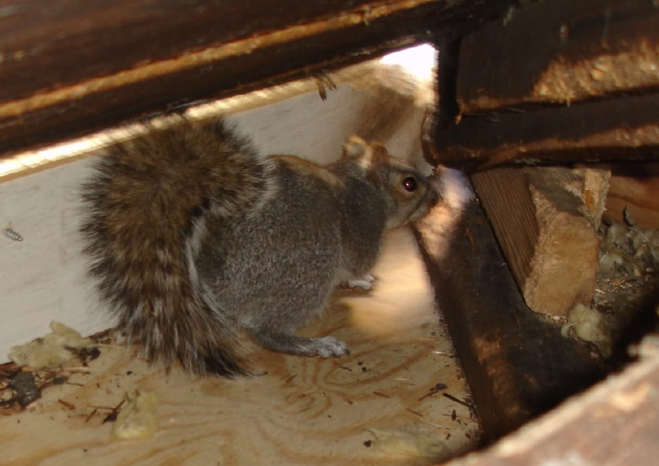 Squirrels in Attic and How to Get Rid of Them